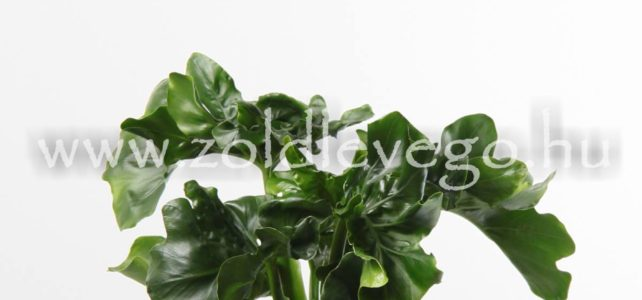 Philodendron atom