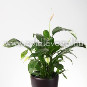 Spatiphyllum spp