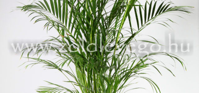 Areca lutescens – Aranypálma