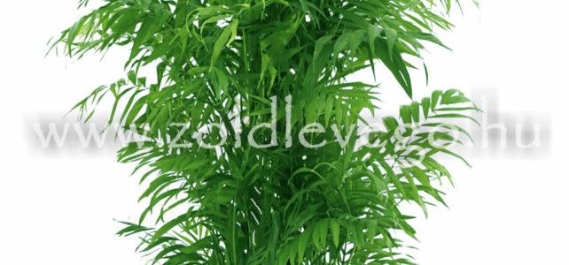 Chamaedorea elegans – Hegyi pálma