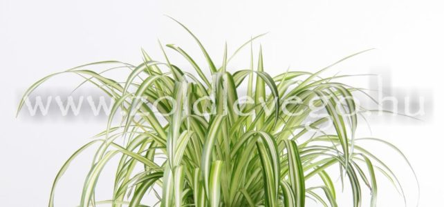 Chlorophytum elatum – Csüngő csokrosinda, zöldike