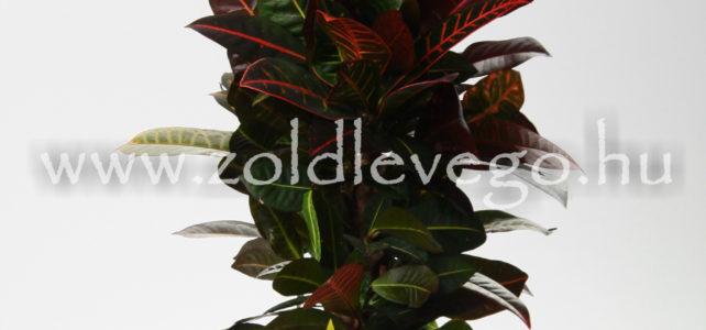 Codiaeum variegatum – Kroton, csodacserje