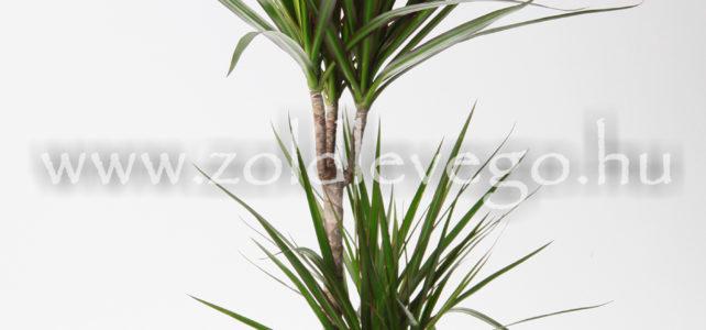 Dracaena marginata – Tarka sárkányfa
