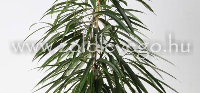 Ficus 'alii' – Fikusz