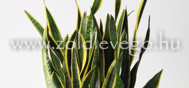 Sansevieria trifasciata – Anyósnyelv