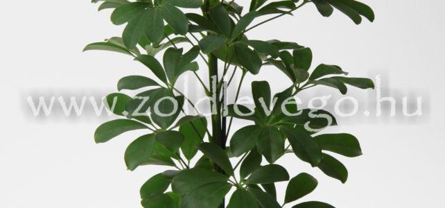 Schefflera arboricola – Sugárarália
