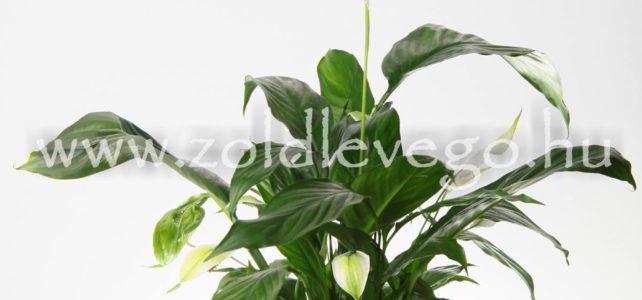 Spathiphyllum spp. – Vitorlavirág