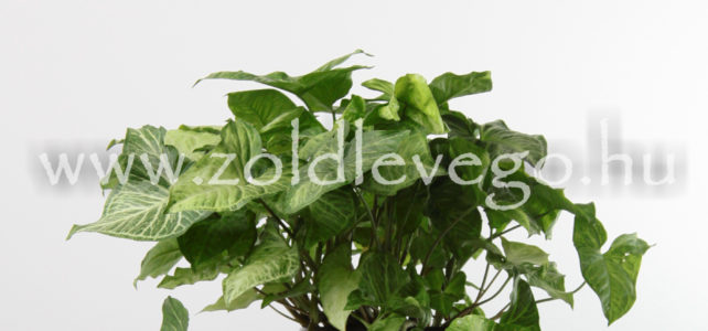 Syngonium podophyllum – Nyíllevél